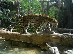 Leopardo en el Loro Parque