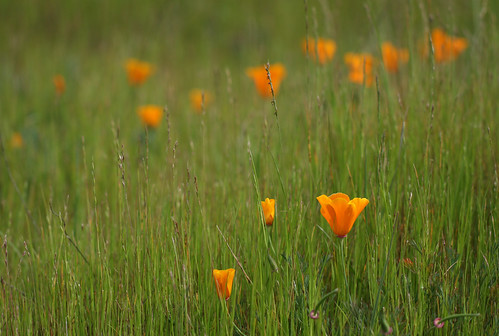 California Poppy, Serpentine Prairie