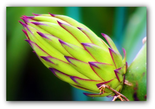 Dragon fruit bud