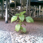 Pix: Plant growing through the pavement outside the Coffee Club, Adelaide St