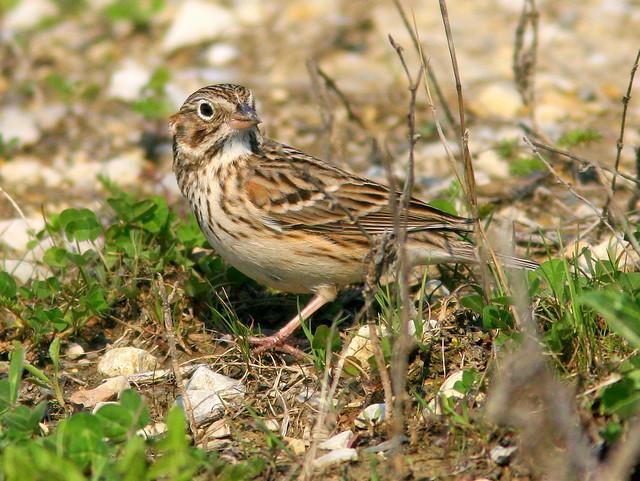 Vesper Sparrow (Pooecetes gramineus) 2- 20100410