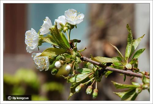【图】樱花3