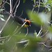Rufous naped brush finch