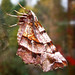 Small photo of Early Thorn. (1st.generation). Selenia dentaria