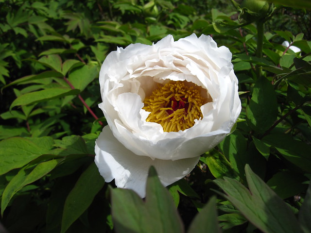 The first tree peonies have begun to bloom at BBG! Photo by Rebecca Bullene.