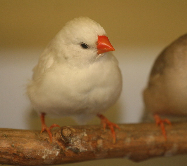 White female zebra finch