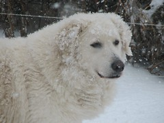 dog breed, animal, kuvasz, polish tatra sheepdog, dog, snow, maremma sheepdog, mammal, slovak cuvac, great pyrenees,