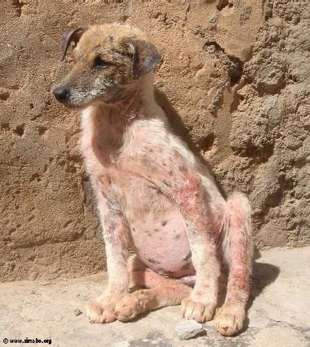 Sarna em cães - Petlove - O Maior Petshop Online do Brasil