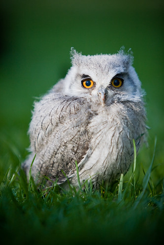 Ickle Baby Owl.. Ahhh by Jason Dale