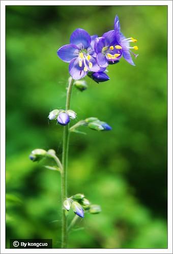 【图】花荵科花荵属花荵