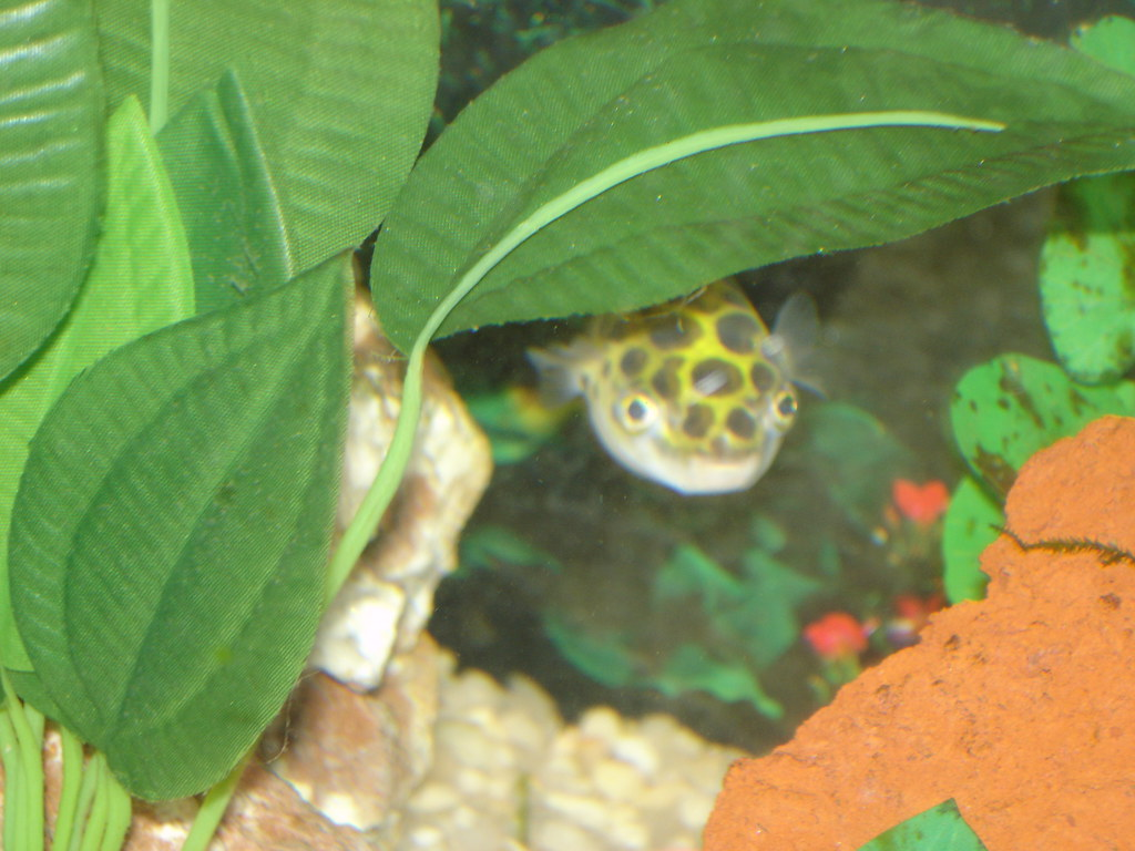 Jimmy the green spotted puffer tropical fish keeping for Freshwater puffer fish care