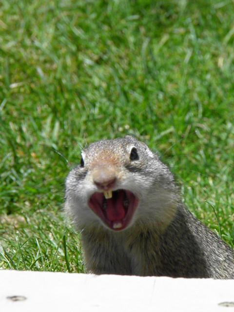 Uinta Ground Squirrel Flickr Photo Sharing