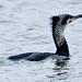 017 Cormorants