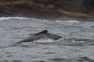 Entangled Humpback calf