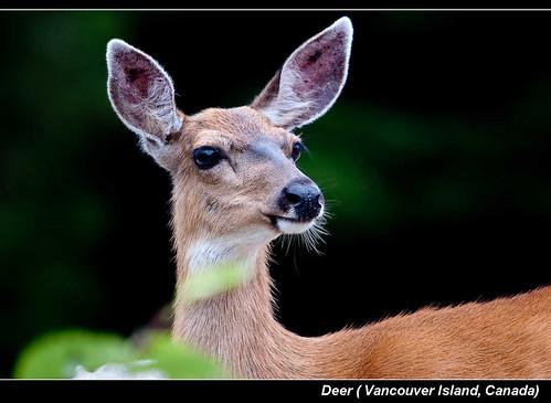 Deer ( Vancouver Island, Canada)