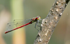 Large Red Damsel (Pyrhosoma nymphula) male - Photo of Revest-les-Roches