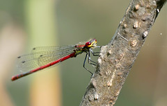 Large Red Damsel (Pyrhosoma nymphula) male