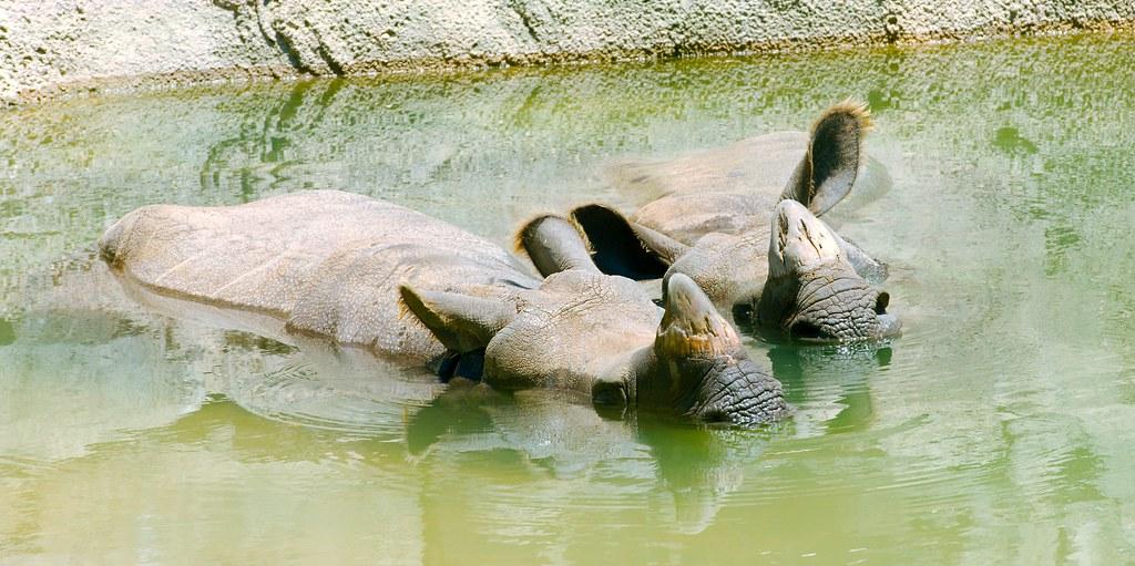 India Rhinos_2