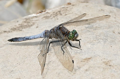 Black-tailed Skimmer (Orthetrum cancellatum) male