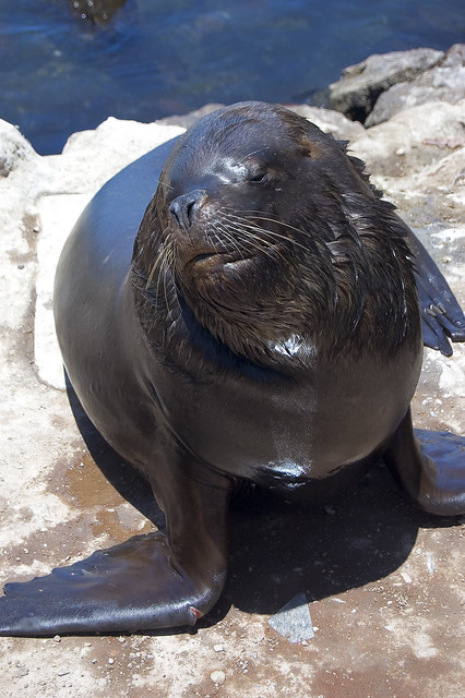 Fat Sea Lion 3