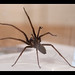 house spiders - Photo (c) Mike Kamermans, some rights reserved (CC BY-NC-ND)