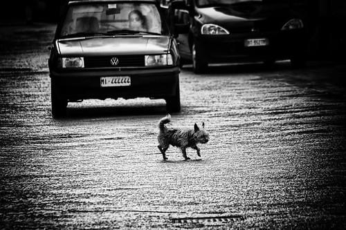 can che attraversa la strada