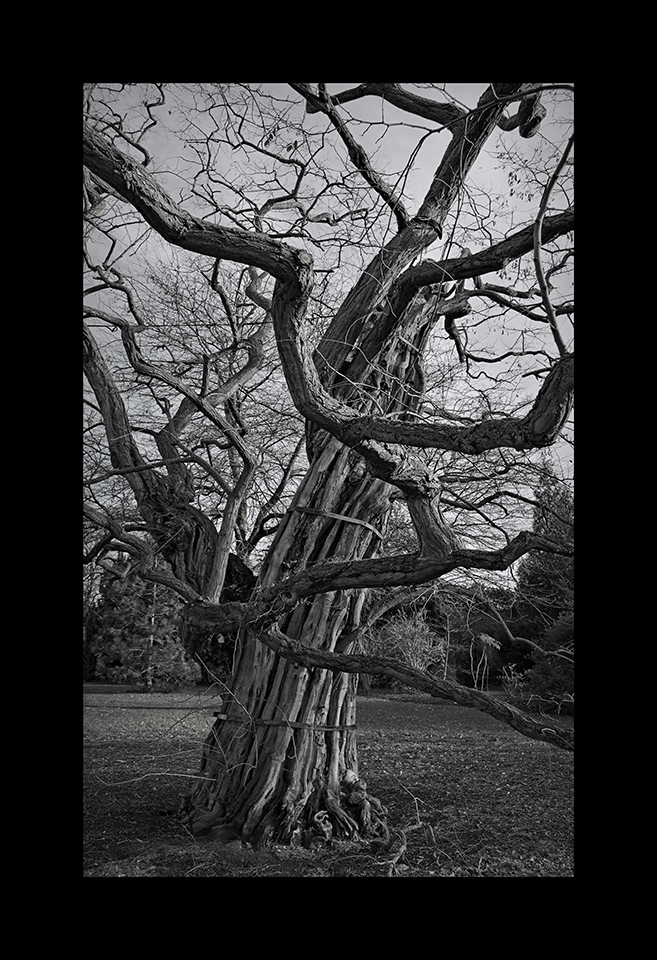 Photography: Black Locust Tree by Nicholas M Vivian