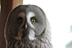 falcon(0.0), animal(1.0), bird of prey(1.0), owl(1.0), fauna(1.0), close-up(1.0), beak(1.0), great grey owl(1.0), bird(1.0),
