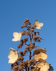 Hydrangea flowers in winter,   cropped
