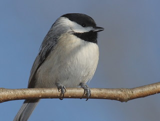 Carolina chickadee portrait