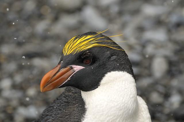 Macaroni Penguin_DSC4768