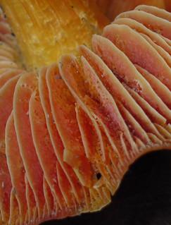 underside of scarlet waxy cap