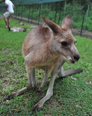 wallaby, animal, zoo, marsupial, mammal, kangaroo, fauna, wildlife,