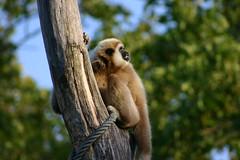gibbon, animal, monkey, mammal, fauna, new world monkey,