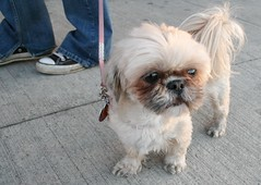 dog breed, animal, dog, pet, tibetan spaniel, chinese imperial dog, pekingese, shih tzu, carnivoran,