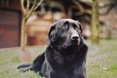 dog breed(1.0), labrador retriever(1.0), animal(1.0), dog(1.0), pet(1.0), flat-coated retriever(1.0), carnivoran(1.0),