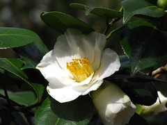 blossom(0.0), shrub(0.0), gardenia(0.0), camellia sasanqua(1.0), flower(1.0), yellow(1.0), macro photography(1.0), flora(1.0), camellia japonica(1.0), theaceae(1.0), petal(1.0),