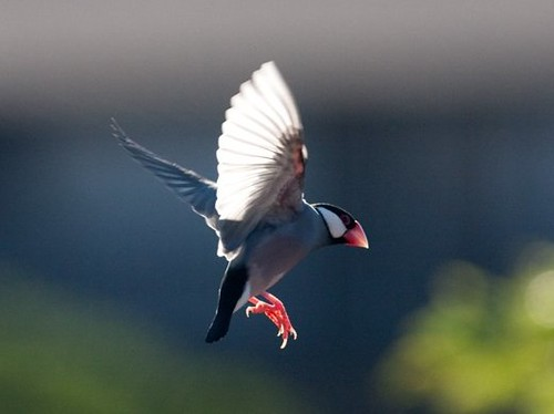 Non-native: Java Sparrow. Photo courtesy of Mike Neal