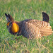 Greater Prairie-Chicken - Photo (c) Greg Schechter, some rights reserved (CC BY)
