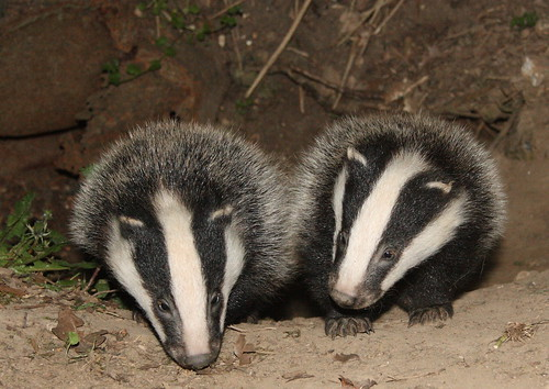 Badger cubs_10-04-24_328