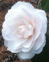 Lul flowerangel linguaggio dei fiori camelia bianca for I fiori della balsamina