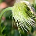 pasque flower - hair in wind