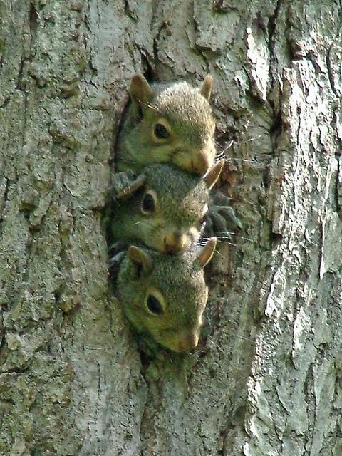 3 Baby Squirrels - Kennerdell
