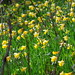 Tagged - daffodils's field forever.... by Aruna's world