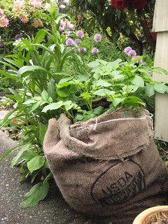 La Ratte Potatos - growing in burlap