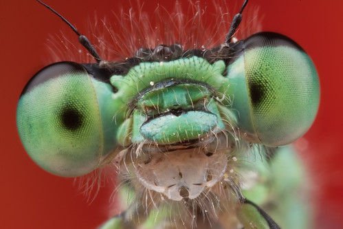 2010 Damselfly Portrait #2