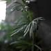 Small photo of Drab Greens