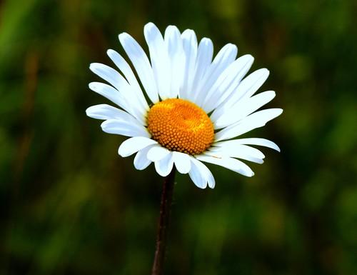 Roadside Daisy