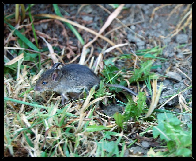 Field Mouse Flickr Photo Sharing