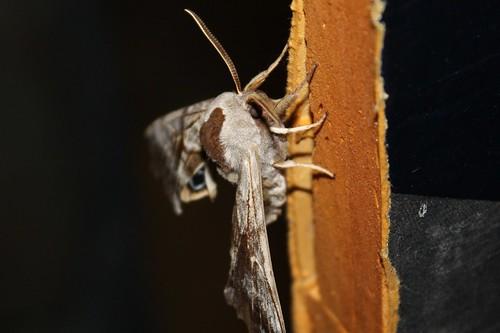 moth oneeyedsphinx smerinthuscerisyi